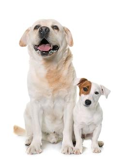 Männlicher labrador-apportierhund und jack-russell-terrier