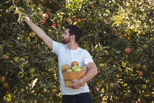 Männlicher landwirt, der äpfel sammelt