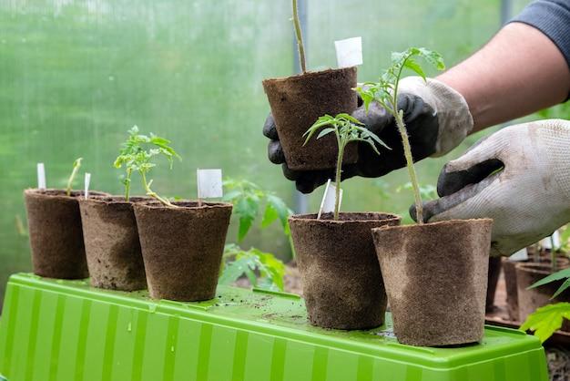 Männlicher landwirt, der bio-topf mit tomatenpflanze hält, bevor er ihn in den boden pflanzt.
