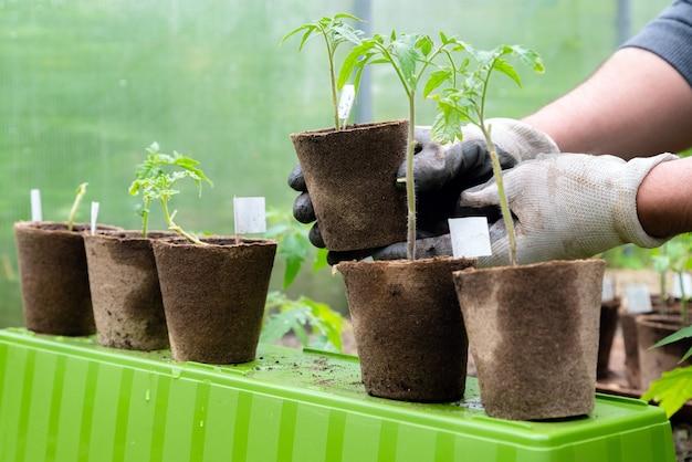 Männlicher landwirt, der bio-topf mit tomatenpflanze hält, bevor er in den boden einpflanzt