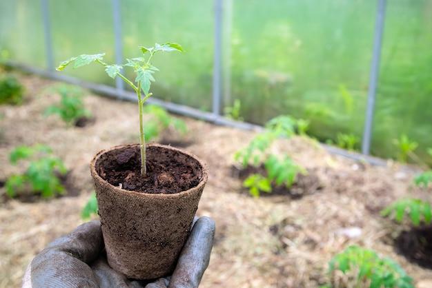 Männlicher landwirt, der bio-topf mit tomatenpflanze hält, bevor er in den boden einpflanzt.