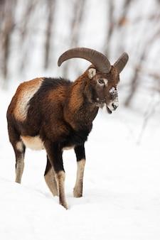 Männlicher mufflon, der im winterwald geht und kaut, der im schnee bedeckt ist.