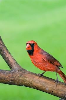 Männlicher roter nördlicher kardinalvogel in einem baumast mit unscharfem grünem hintergrund