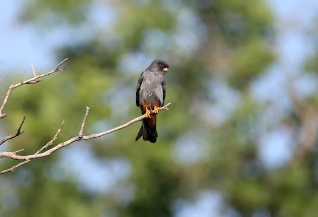 Männlicher rotfußfalke (falco vespertinus) sitzt auf einem ast.