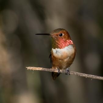 Männlicher rufous kolibri thront auf einem zweig