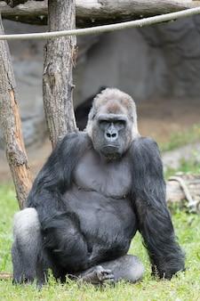 Männlicher starker gorilla, der aus den grund sitzt