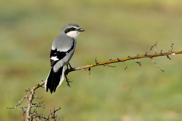 Männlicher südlicher grauer würger im ersten licht der morgendämmerung in der brunftzeit in der natur auf seinen lieblingsstangen