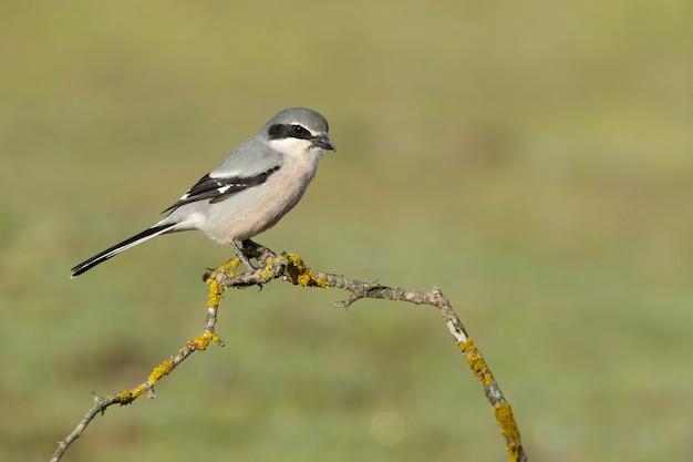 Männlicher südlicher grauer würger in der natur auf seinem lieblingsbarsch in der brunftzeit mit dem ersten tageslicht