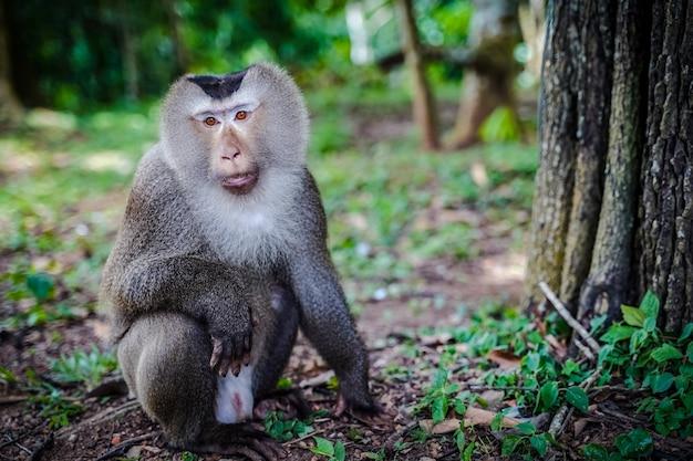 Männlicher südlicher schweineschwanz-makaken