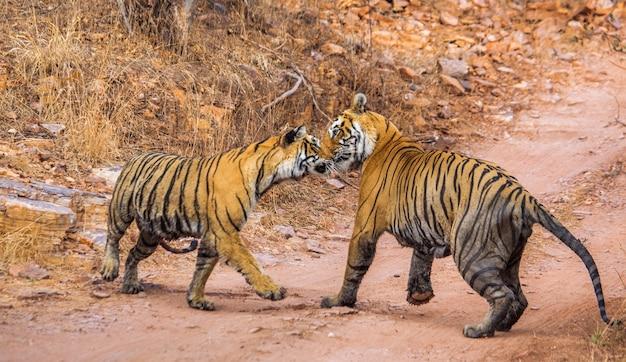 Männlicher und weiblicher bengal-tiger spielen im ranthambore-nationalpark miteinander. indien.