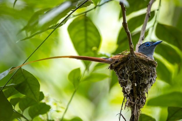 Männlicher vogel des asiatischen paradies-fliegenfängers, der am nest singt