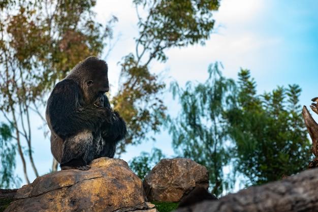 Männlicher westgorilla, der auf einen felsen, gorilla gorilla gorilla stillstehend sitzt.
