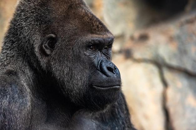 Männlicher westgorilla, der herum schaut, gorillagorillagorilla