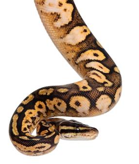 Männliches pastellkaliko python royal python, kugelpython - python pastell