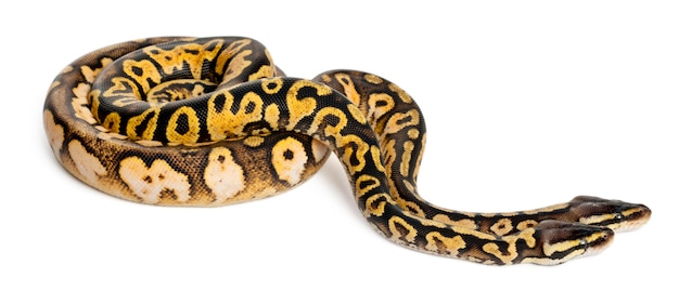 Männliches und weibliches pastellkaliko royal python, ballpython - python regius