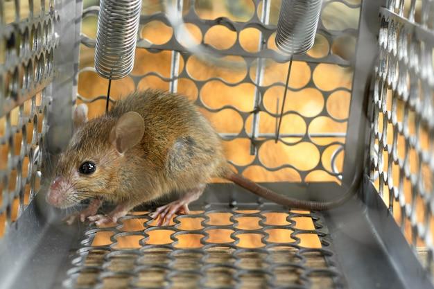 Mäuse in einem käfig gefangen. innerhalb der rattenfallen.