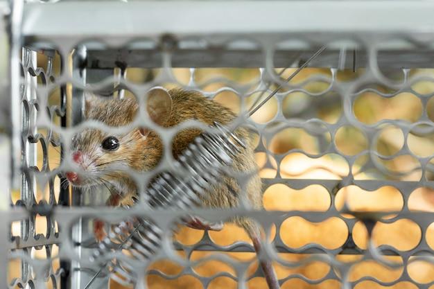 Mäuse in einem käfig gefangen. innerhalb von rattenfallen.