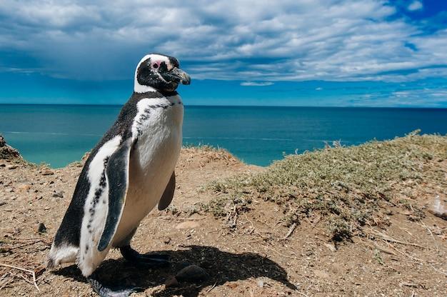 Magellan-pinguine, die durch ihr nest an den felsen über dem strand auf der halbinsel valdes, patagonien, argentinien wohnen