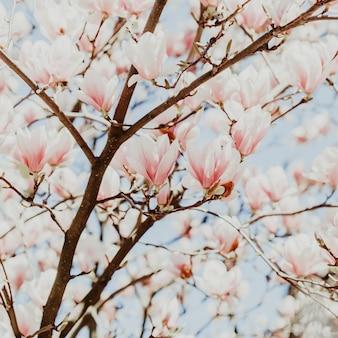 Magnolie rosa blütenbaum blumen