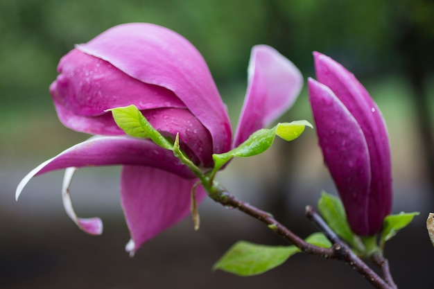 Magnolienblüten auf ästen