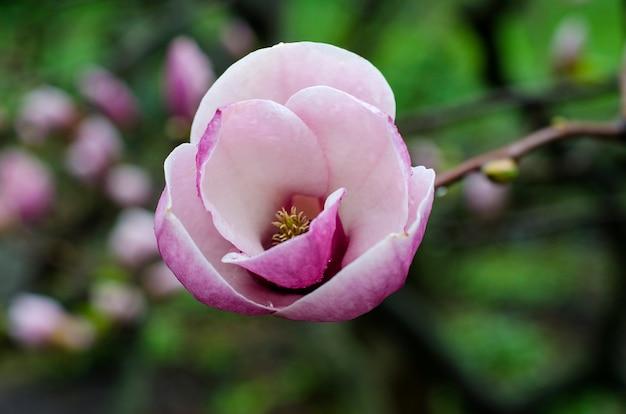 Magnolienblüten lila