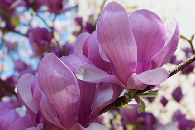 Magnolienblumen in der niederlassung. schöner und zarter hintergrund.