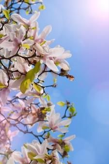 Magnolienblumen und blauer himmel.