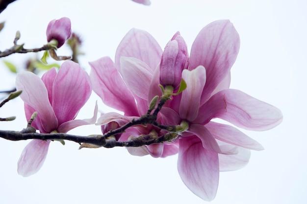 Magnolienrosa blüten. nahaufnahmebild. weißer hintergrund