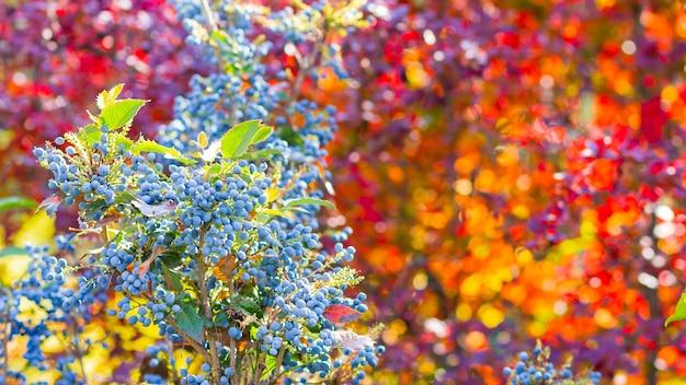 Mahonia aquifolium oregon-traube oder oregon-traube reifen auf den zweigen. pflanze in der familie berberidaceae. blaue beeren auf einem busch