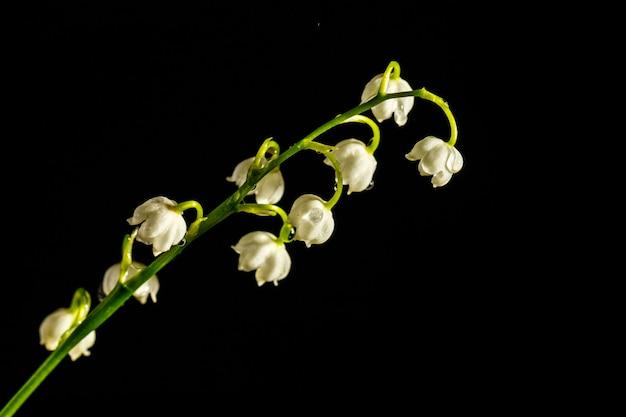 Maiglöckchen auf dunklem hintergrund