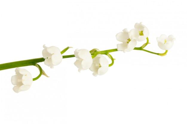 Maiglöckchen auf weiß