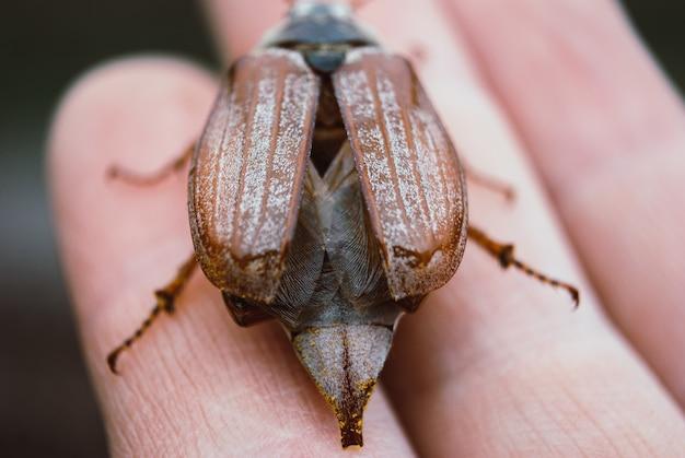 Maikäfer, sommerkäfer. makro