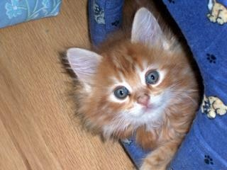 Maine coon baby
