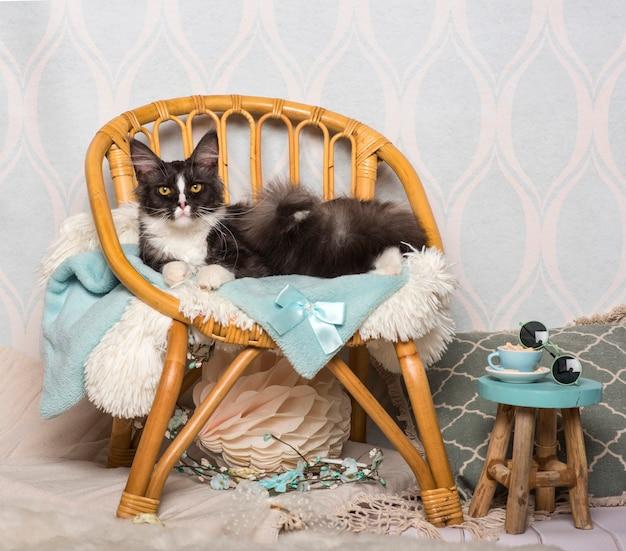 Maine-coon-katze sitzt auf stuhl im studio, porträt