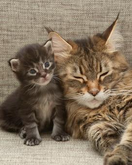Maine-coon-katzenfamilie. katzenmutter (mutterkatze) mit kätzchen