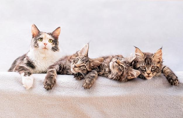 Mainecoon family mama katze und drei kätzchen liegen auf einer leichten flauschigen decke