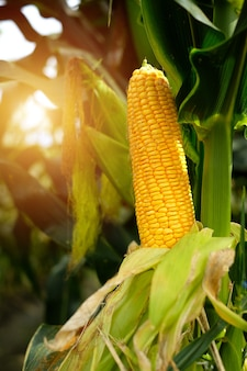 Mais auf dem feld von der sonne beleuchtet