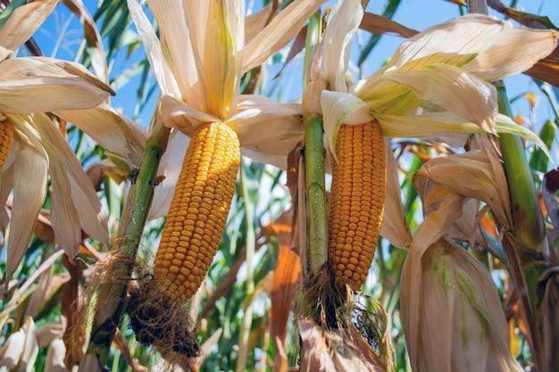 Mais auf dem gebiet während der reifezeit