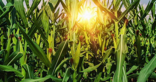 Mais, der in der plantage und im sonnenuntergang wächst