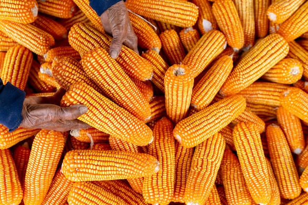 Mais für tierfutter, maiserntebauer, biolandbau, lebensmittel- und gemüseproduktion.