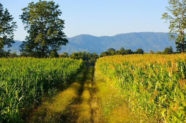 Mais ist auf dem bauernhof, auf dem maisfeld und auf dem feldweg nicht vollständig angebaut.