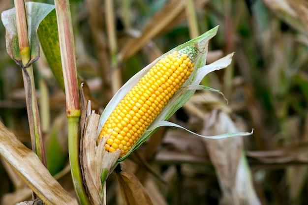 Mais landwirtschaftliches feld, mais ist reif, aber die maiskolben mit samen sind mit schimmel und pilzen bedeckt, die herbstsaison