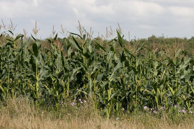 Mais, malve und butterblumen wachsen auf einem feld in east grinstead