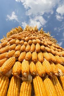 Mais mit hintergrund des blauen himmels