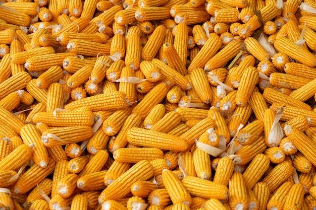 Mais oder mais zur verarbeitung zu gelbem futter. vollbild.