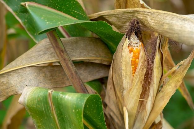 Mais oder mais zur verarbeitung zu gelbem futter.