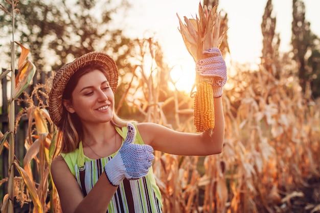 Maisernte. landwirtsammeln-maisernte der jungen frau. arbeitskraft, die herbstmaiskolben hält. landwirtschaft und gartenarbeit