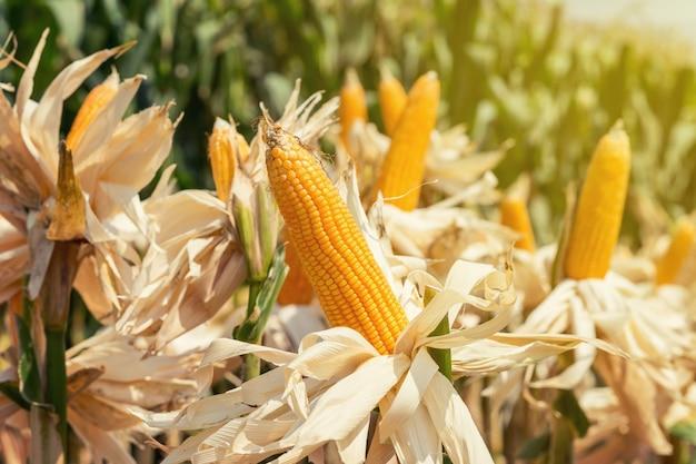 Maisfeld auf erntepflanze zur ernte