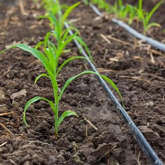 Maisfeld, das mit tropfbewässerungssystem wächst.