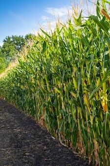 Maisfeld in der zeit der milchkornreife.